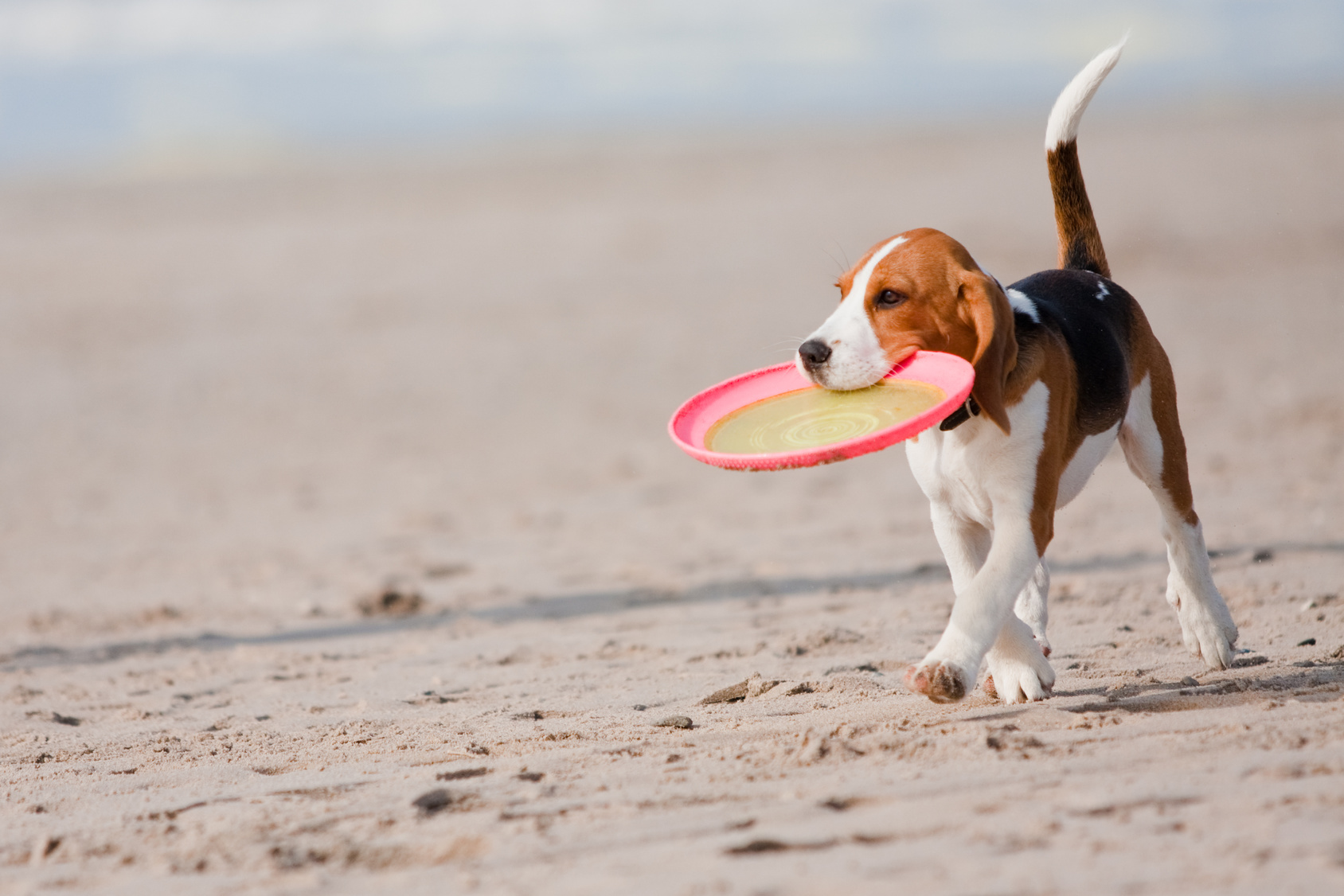 Small dog, beagle puppy playing with frisby on beach